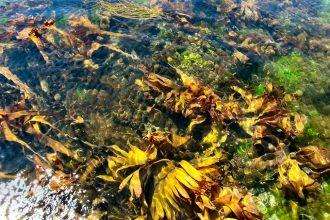 Seaweed off the coast of Ireland