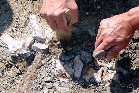 Dinosaur remains uncovered at the Mosasuar site in Hell Creek Formation, one of