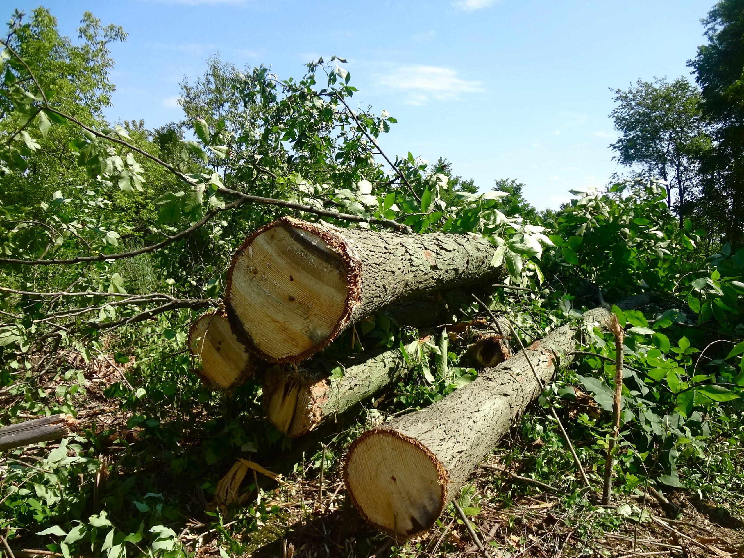 Trees on Debbie Hense's land cut down by Enbridge.