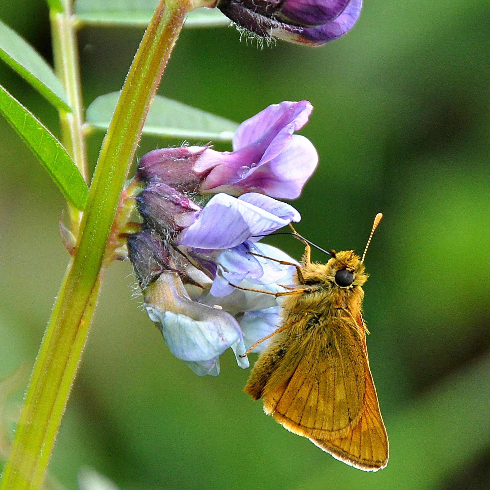 Climate change is particularly harsh on butterflies