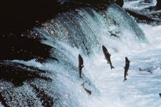 Sockeye salmon are among the fish species affected by a warming North Pacific.