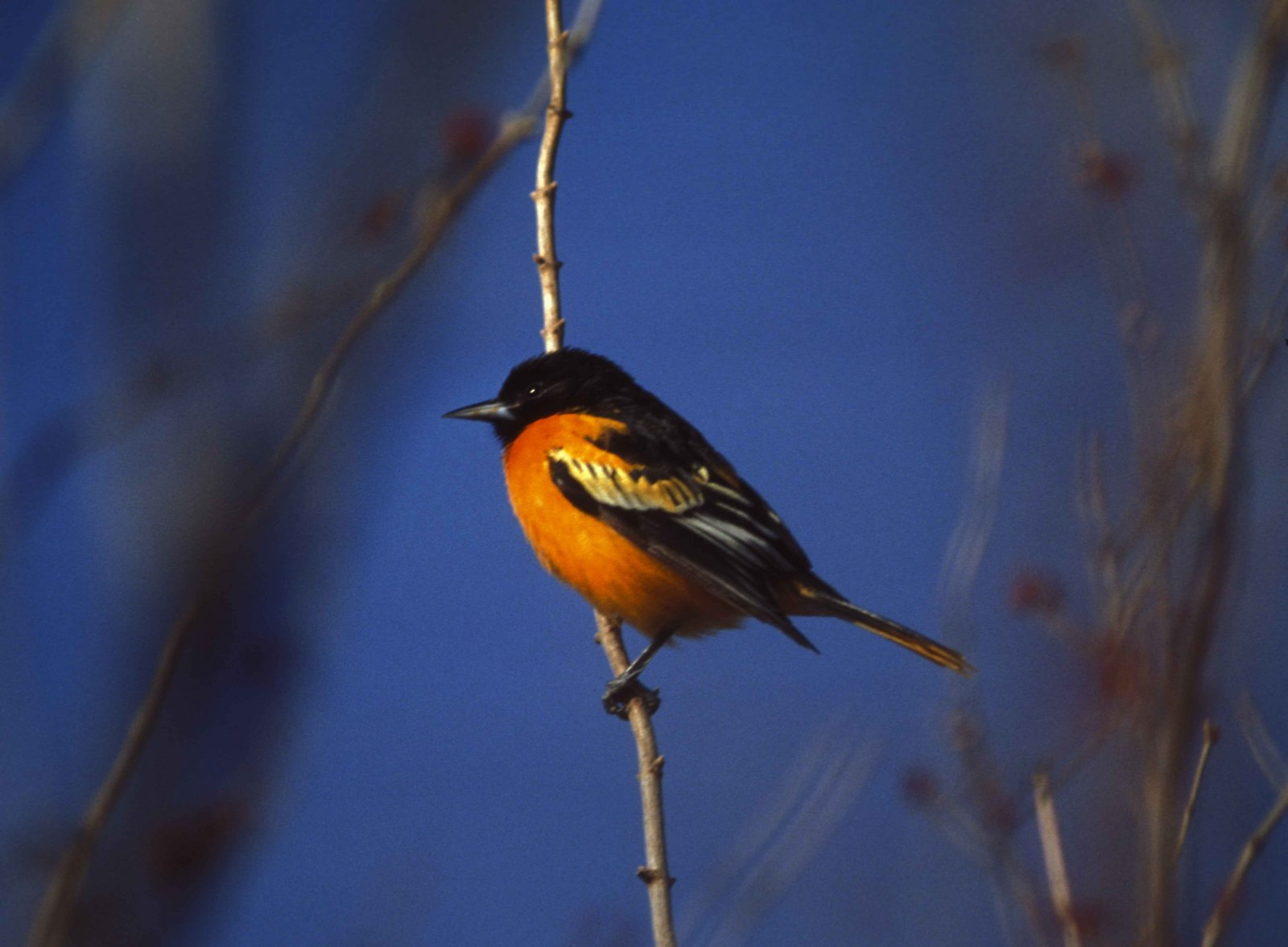The Baltimore oriole will have a hard time making Baltimore its home in the future