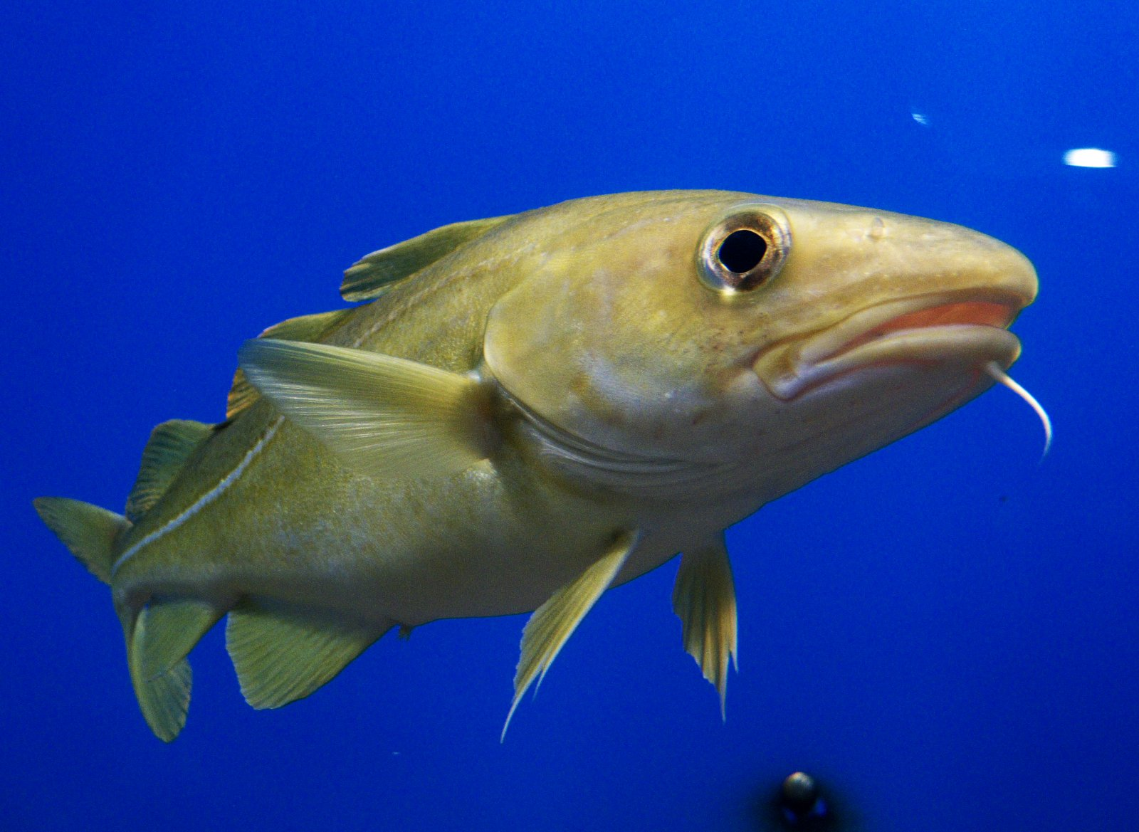 Cod numbers in the Gulf of Maine are in serious decline