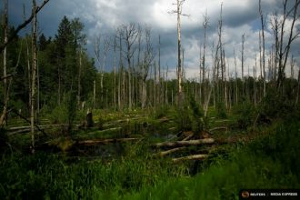 A dying forest in Poland is one of many across the world likely caused by, and fueling, global warming