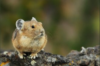 The American pika is disappearing because of climate change