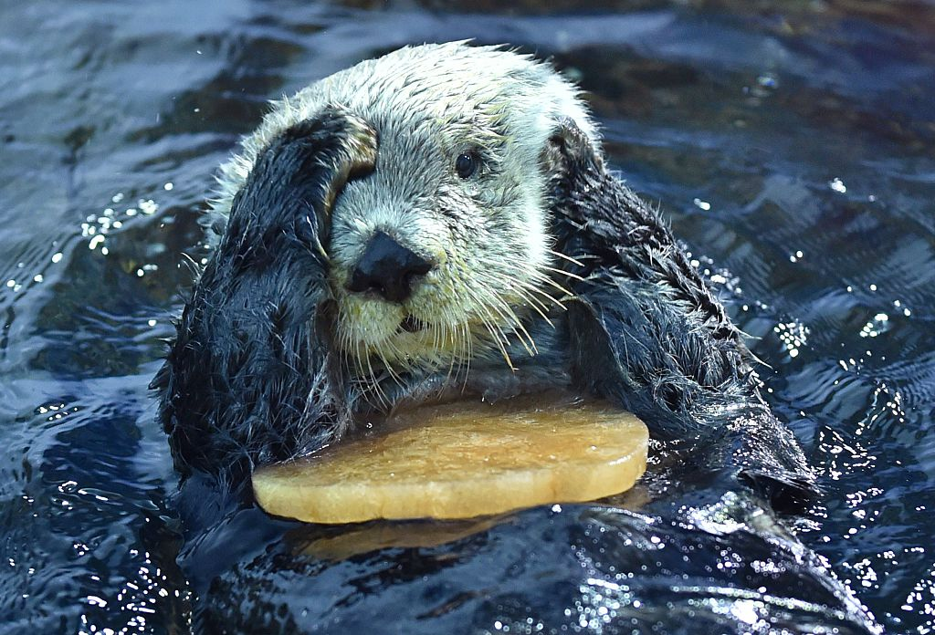 Researchers have found healthy sea otter populations help the climate
