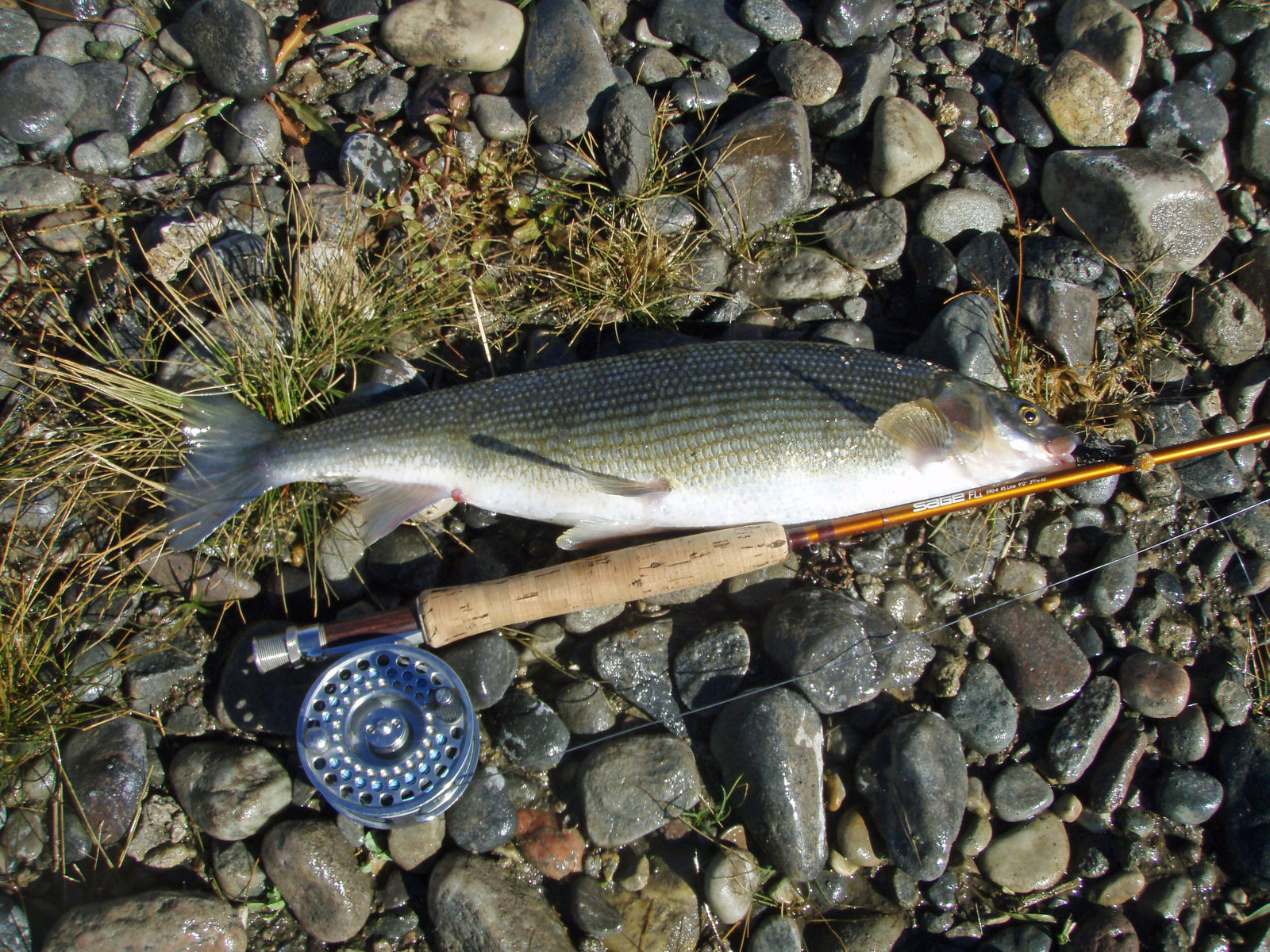 The mountain whitefish is among those dying in large numbers in Montana