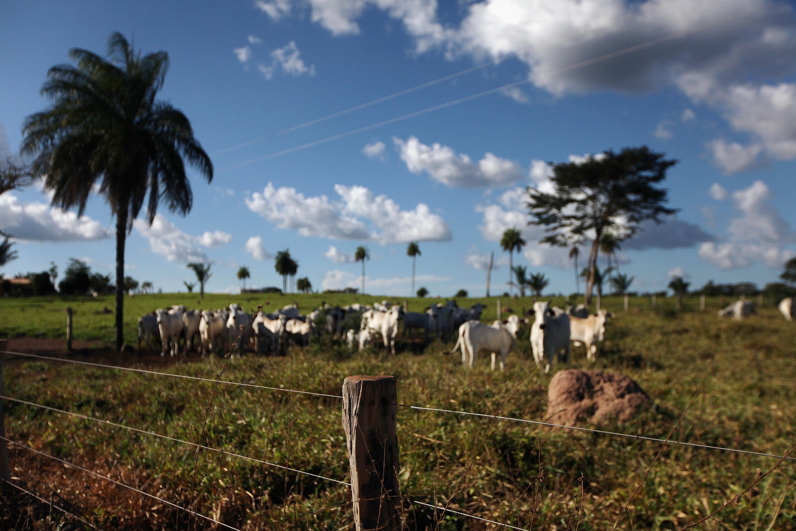 Much of the deforestation in Brazil has been driven by beef production