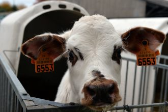 Cows are a major source of methane, a potent greenhouse gas