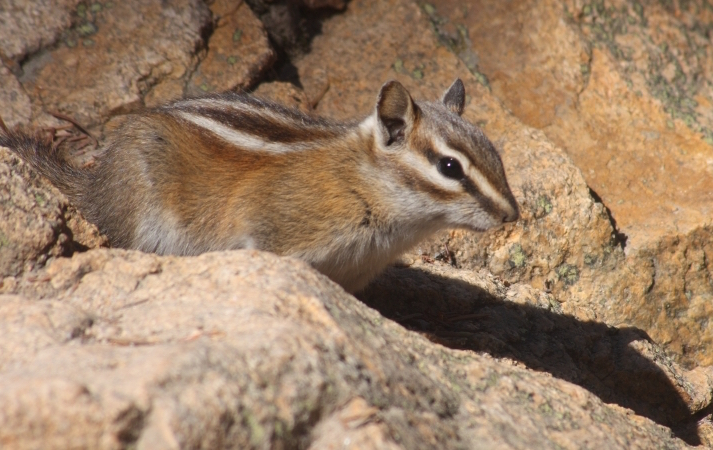 The Uinta chipmunk is among the species disappearing from their usual homes