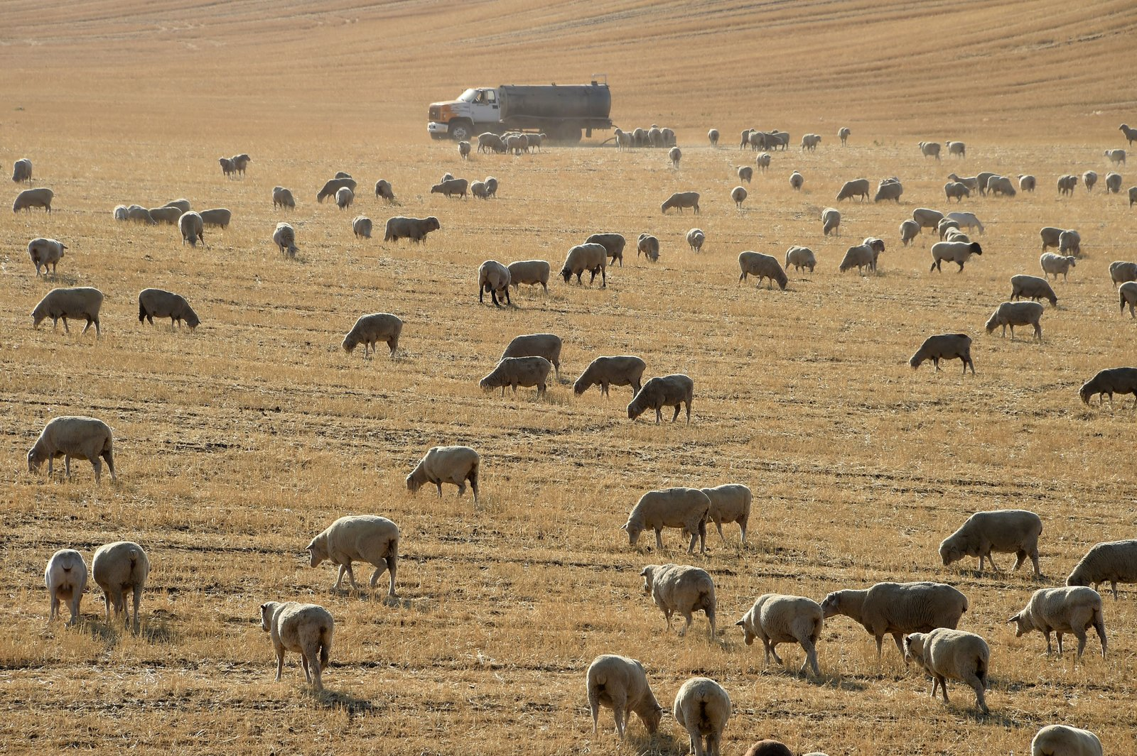 Sheep graze in a dry field near the town of McFarland in California's Central Valley, August 24, 2016. The Central Valley is the state's agriculture hub producing vast quantities of fruits, vegetables, nuts as well as dairy, beef and lamb but struggled through five years of the last drought. Credit: ROBYN BECK/AFP/Getty Images