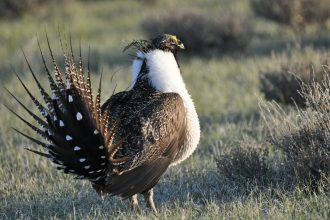 The Greater Sage-Grouse's endangered status has caused friction over the federal Endangered Species Act