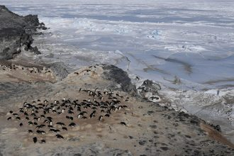 A colony of Adelie penguins basks near the sea ice in Antarctica
