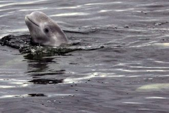 Alaska's Cook Inlet is home to endangered beluga whales