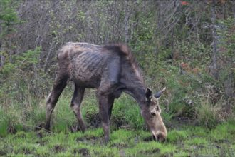 Moose in New Hampshire are declining as a tick population rises