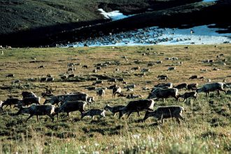 Caribou in the Arctic National Wildlife Refuge. Credit: U.S. Fish and Wildlife Service
