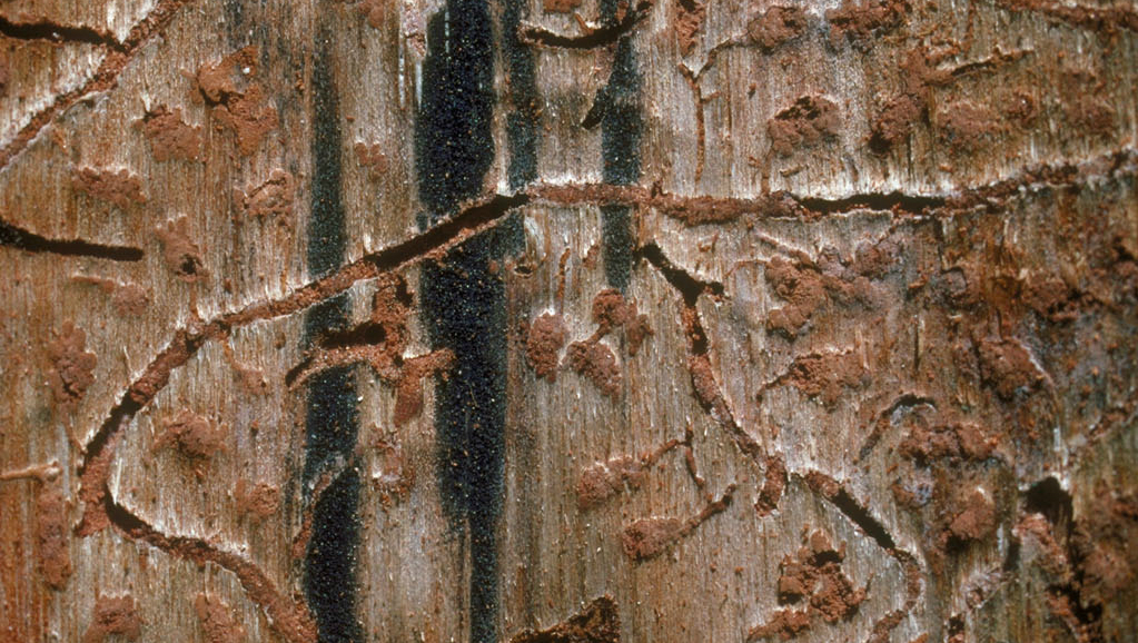 Southern pine beetle damage under the bark of a tree. Credit: Erich Vallery/USDA