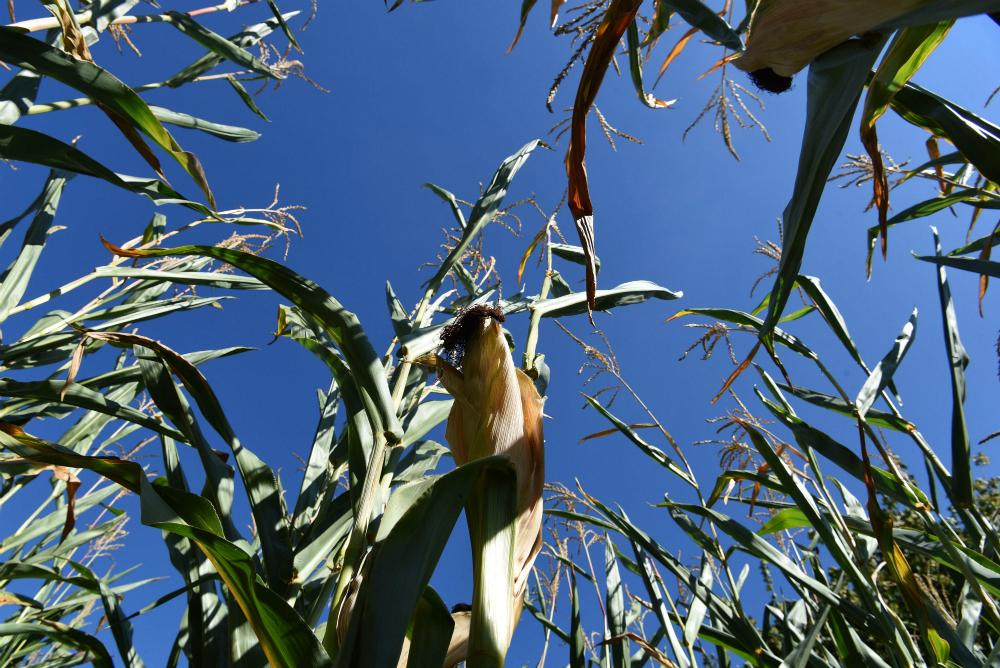 Corn field. Credit: Patrik Stollarz/AFP/Getty Images