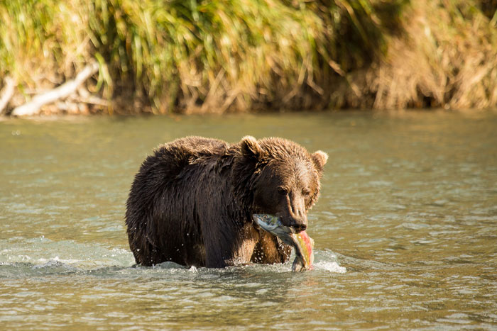 Bear fishing for salmon on Kodiak Island. Credit: Lisa Hupp/USFWS
