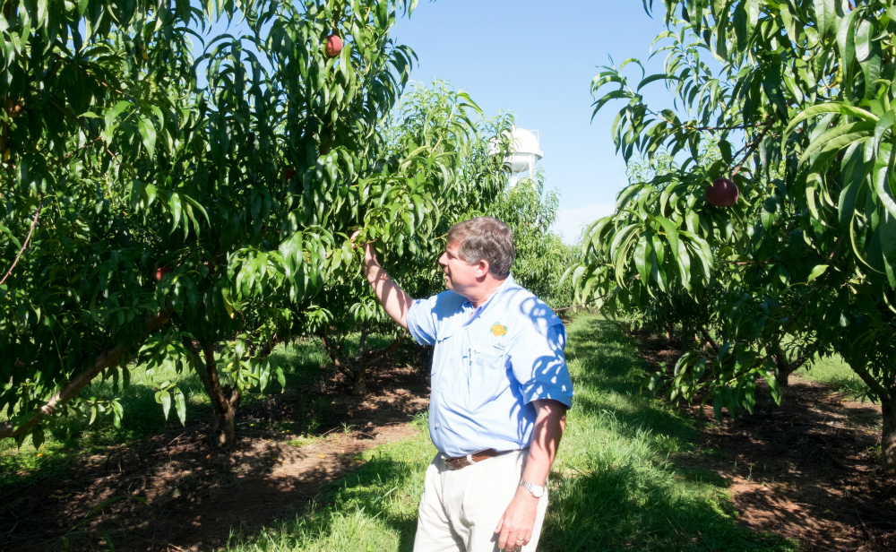 Robert Dickey checks the peaches still growing in his family's orchard. Credit: Meera Subramanian