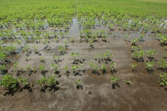 Soybeans after a rainstorm. Credit: Scott Olson/Getty Images