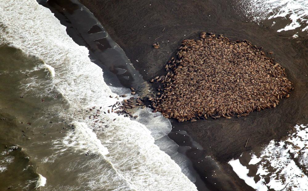 2014 Walrus haul out in Alaska. Credit: Corey Accardo/NOAA