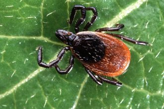 A deer tick. Credit: Scott Bauer/USDA-ARS