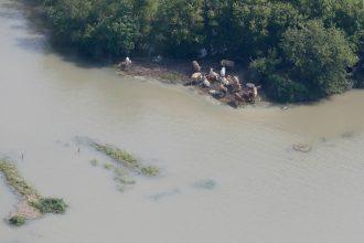Flooding from Hurricane Harvey stranded cattle near Port Arthur, Texas. Credit: U.S. National Guard Staff Sgt. Daniel J. Martinez