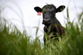 Eating grass-fed beef doesn't get climate-conscious carnivores off the hook. Credit: Justin Sullivan/Getty Images
