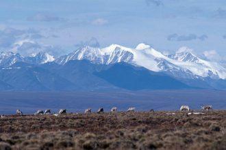 Caribou graze on the Arctic National Wildlife Refuge coastal plain. Credit: U.S. Fish and Wildlife Service