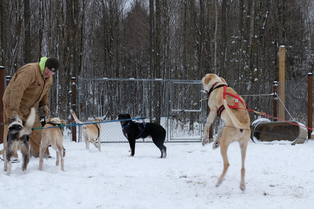 The family's kennel has 19 dogs, a mix of Alaskan huskies and hounds trained by Mel Omernick; her husband, Keith; and her father, Ron Behm. Credit: Meera Subramanian
