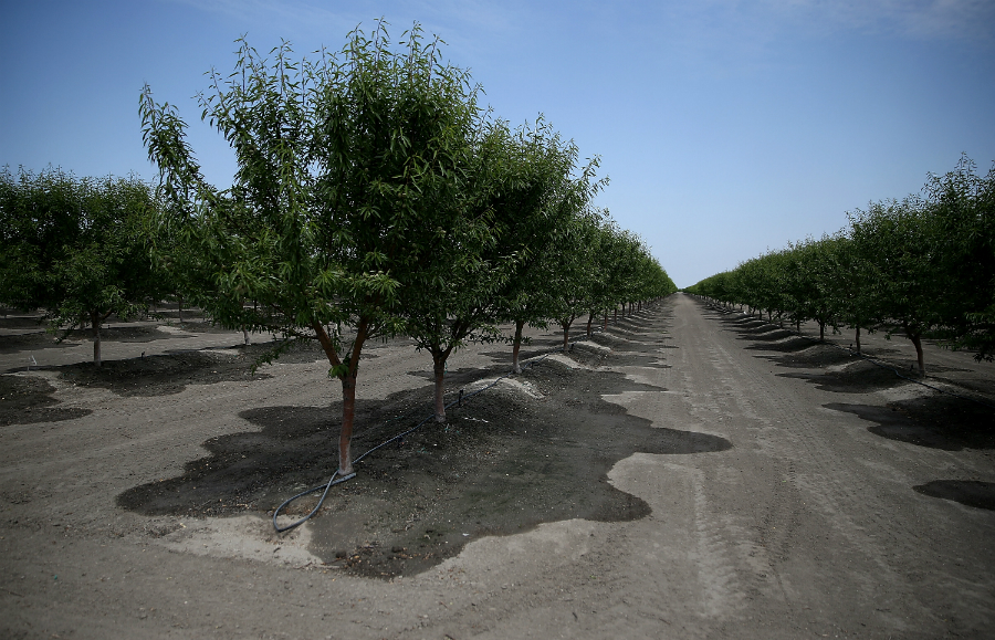Almonds came under scrutiny during the California drought for the amount of water their trees require to grow. Credit: Justin Sullivan/Getty Images