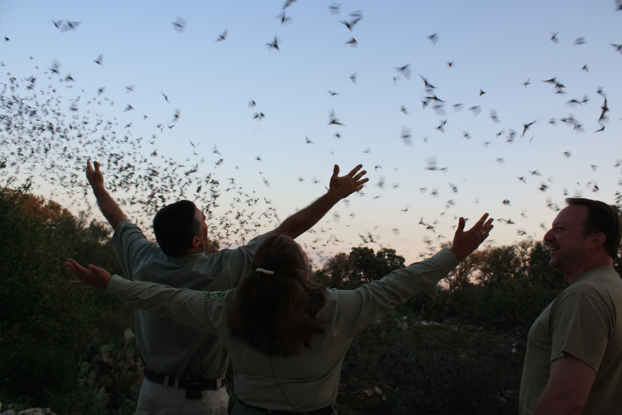 Millions of Brazilian free-tailed bats spend summers in the Bracken Cave near San Antonio, Texas. A study finds they're arriving earlier and staying longer as the planet warms. Credit: Ann Froschauer/USFWS