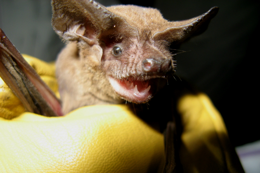 A Brazilian free-tailed bat. Credit: Kathleen Smith/Florida Fish and Wildlife Conservation Commission