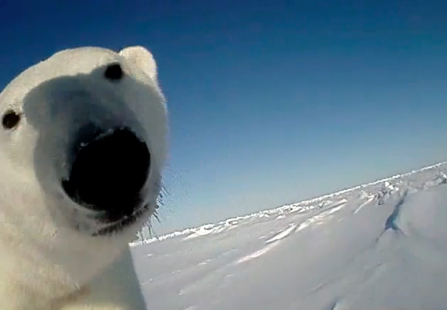 A camera attached to a polar bear captures a close-up of another bear on the ice. Credit: U.S. Geological Survey