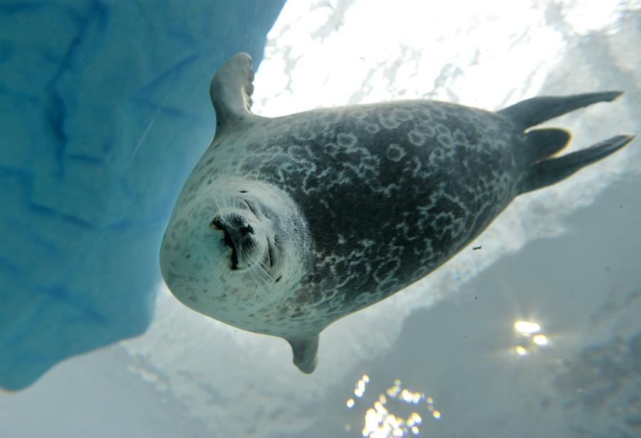 Ringed seal. Credit: Kazuhiro Nogi/AFP/Getty Images