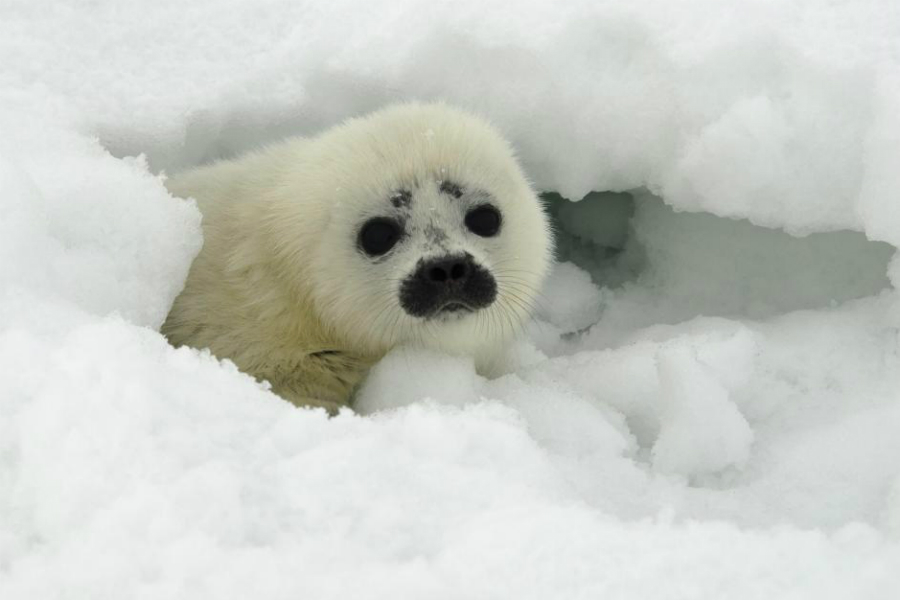 A ringed seal pup in a snow cave on the ice. Credit: Michael Cameron/NOAA