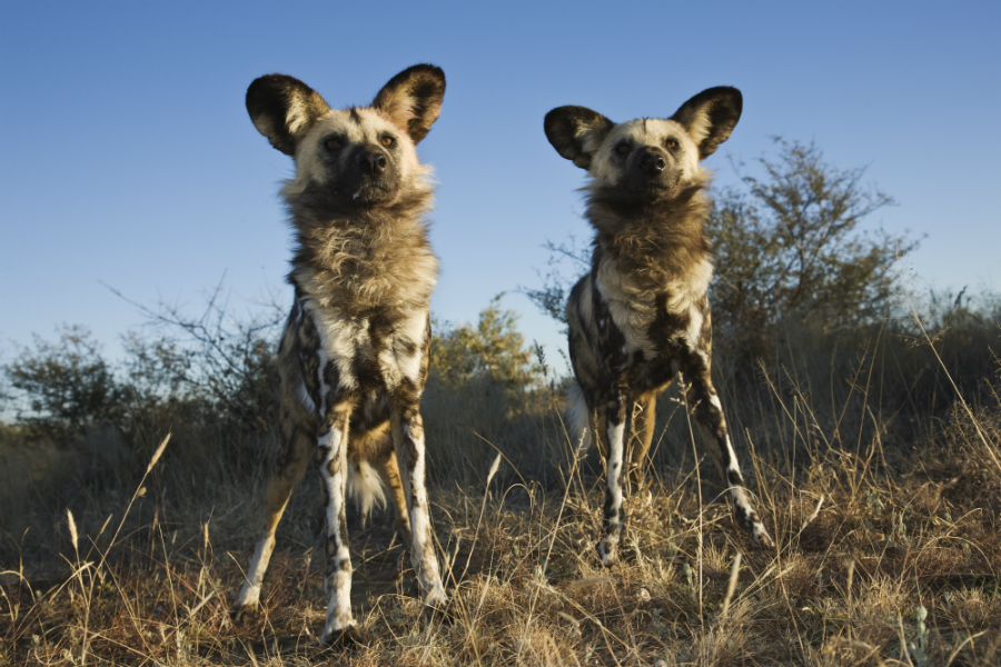 One area at risk in a warming world is the Miombo Woodlands in south-central Africa, home to African wild dogs. Credit: Martin Harvey/WWF