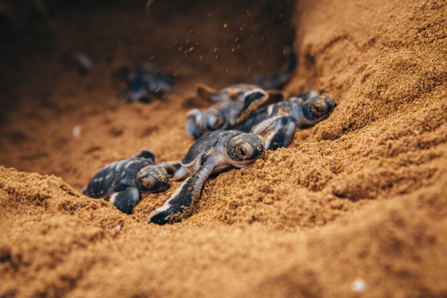 In some coastal areas of East Africa, turtles are altering their migratory routes and nesting sites, the report's author write. Credit: Jonathan Caramanus/Green Renaissance/WWF-UK