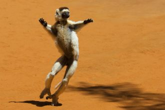 A Verreaux's sifaka, a type of lemur that lives in Madagascar. Credit: Martina Lippuner/WWF