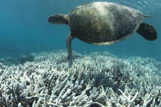 A turtle swims over bleached corals. Coral reefs are critical habitats for young fish and other sea life. Credit: NOAA