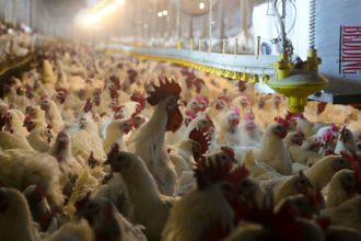 Poultry industry chicken houses can hold tens of thousands of birds. Credit: U.S. Department of Agriculture