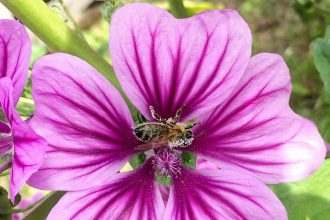 A European honeybee (Apis mellifera) is dusted in pollen on a purple mallow in Gobelsburg, Austria, in 2017. Credit: Bob Berwyn