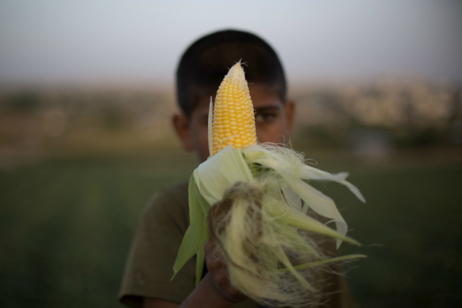 A child holds a cob of corn, a primary source of food for people and livestock, as well as an important source of biofuel energy. Credit: Mohammed Abed/AFP/Getty Images