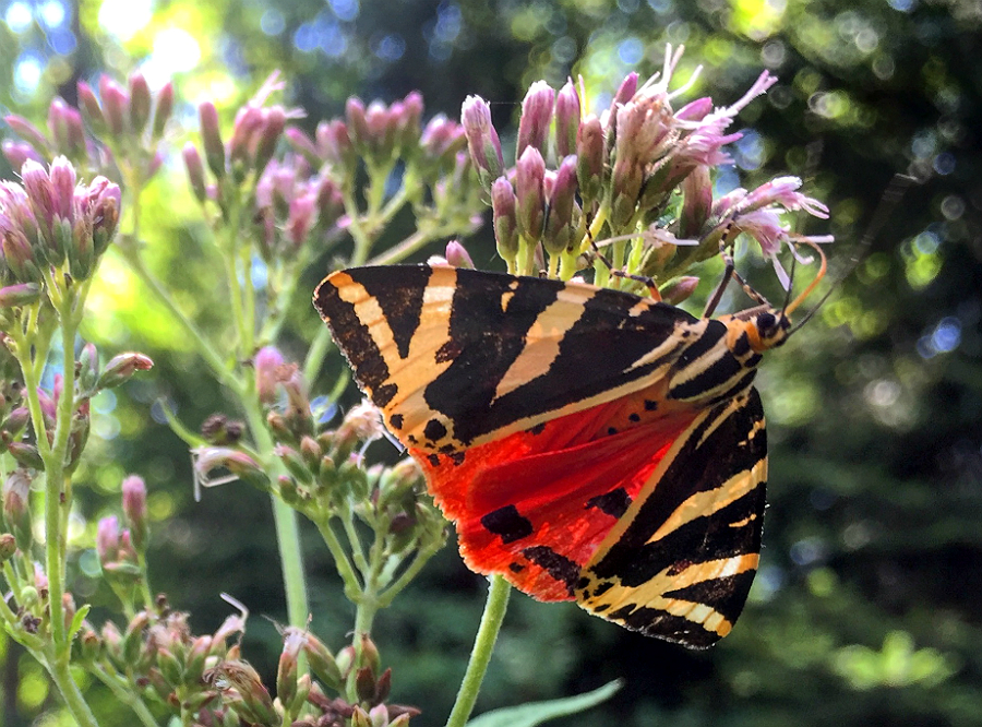 A Jersey tiger day-flying moth (Euplagia quadripunctaria) rests on a wildflower in northeastern Austria. Credit: Bob Berwyn