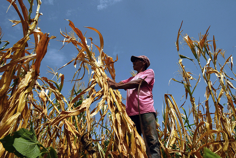 In El Salvador, many farmers have lost their lost corn crops to drought this summer. Agriculture is suffering in the high heat and drought conditions in several parts of the world. Credit: Oscar Rivera/AFP/Getty Images