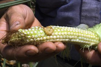 An insect-infested corn cob. Credit: Paul J. Richards/Getty Images