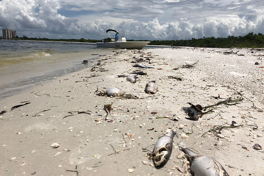 Red tide has been killing fish by the thousands this year along the Florida coast, and also harming dolphins, humans and local businesses. Credit: Gianrigo Marletta/AFP/Getty Images