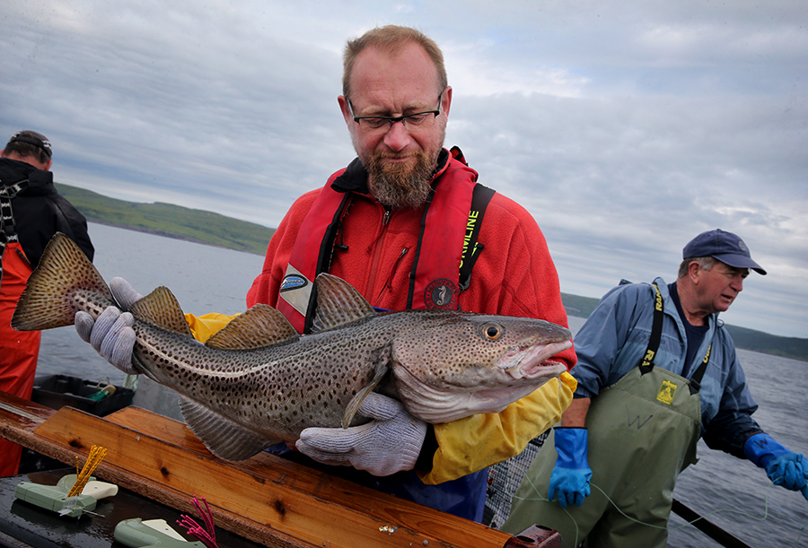 A marine biologist from Fisheries and Oceans Canada tags a cod off Newfoundland in 2016. Credit: Craig F. Walker/Boston Globe via Getty Images