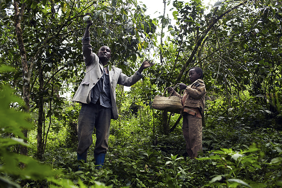 Brahanu Gibo, a coffee farmer, picks wild coffee with his son in Ethiopia. Credit: Per-Anders Pettersson/Contributor/Getty Images